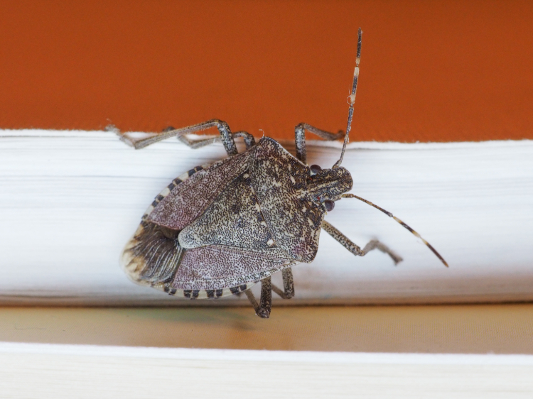 How Siding Prevents Stink Bugs